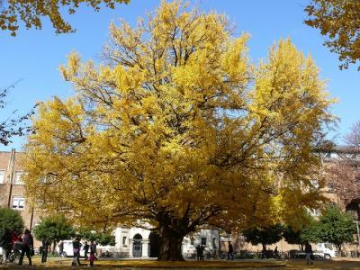 東大本郷キャンパスで紅葉とヒマラヤ桜