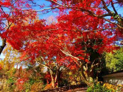 井の頭公園の真っ赤な紅葉を見てきました