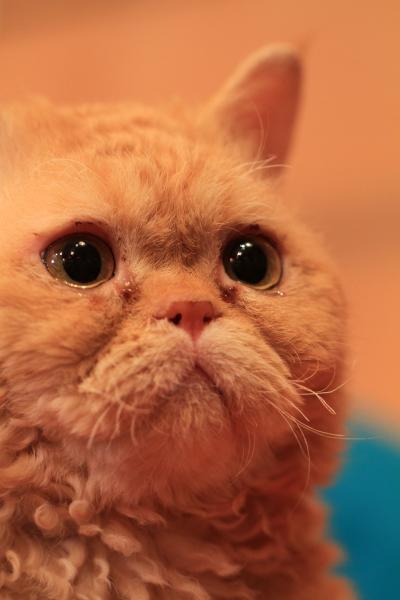 【猫カフェ59】 日本各地の猫カフェめぐり ~松本市~ 「ねこカフェ Zaneli(ザネリ)」