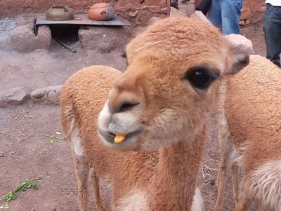 南米初旅行(4)へんな動物
