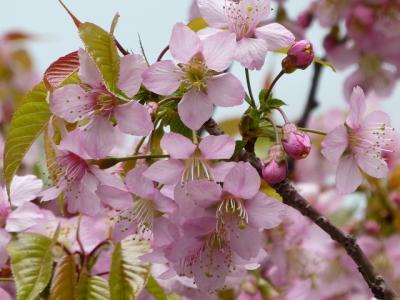 ヒマラヤ桜を探して都内うろちょろ(品川・弁天通り公園、品川・戸越公園、東京・丸の内)