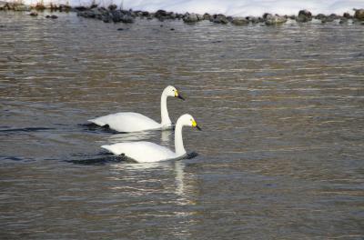 長野県 安曇野 犀川にて白鳥の集団を眺める