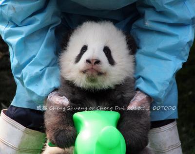 中国陝西省(西安)と四川省(雅安&成都)のパンダちゃんを訪ねて(成都)