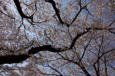 2012 麻生川の桜