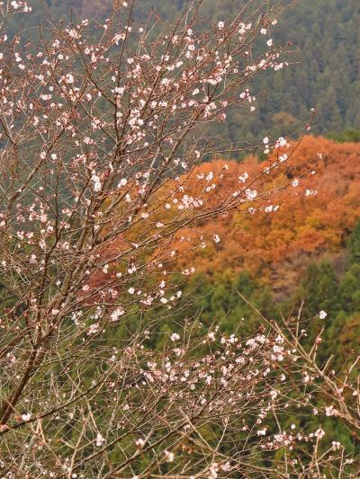 藤岡市・桜山公園 フユザクラ咲く鬼石を訪ねて ☆日本庭園も整備され