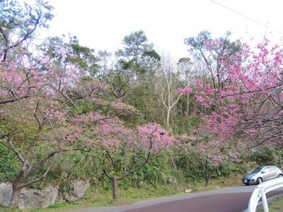 寒緋桜見物