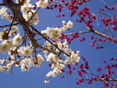 一足の春をおっかけて~南部梅林へ(その1)