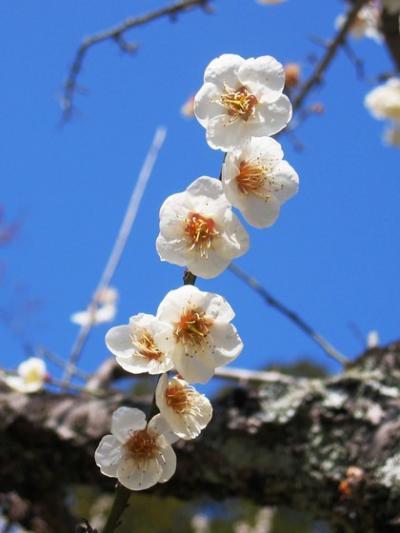 奈良公園で梅を楽しんでみませんか?