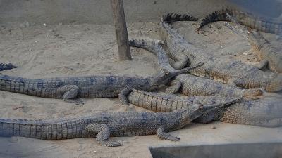 チトワン国立公園 ワニ繁殖センターの見学