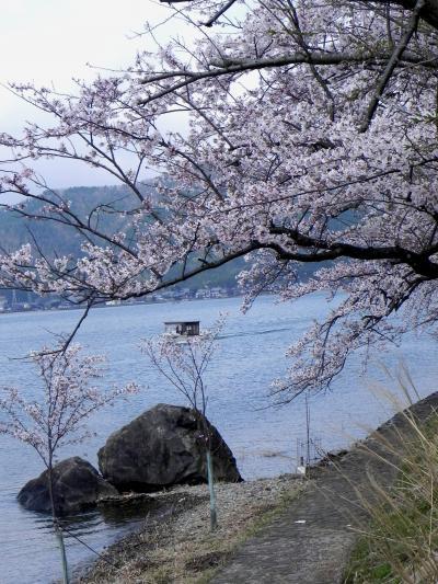 近江・京都 桜の旅 4 マキノ