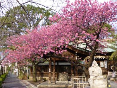 品川はのさくらは荏原神社の寒緋桜から高輪口の河津桜へバトンタッチ
