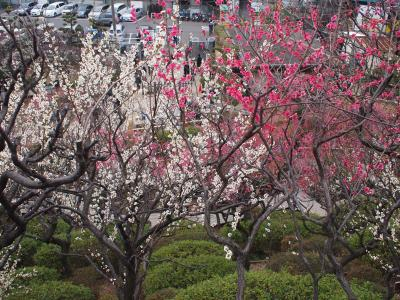 梅の花を探しにプチ散歩 池上梅園へ
