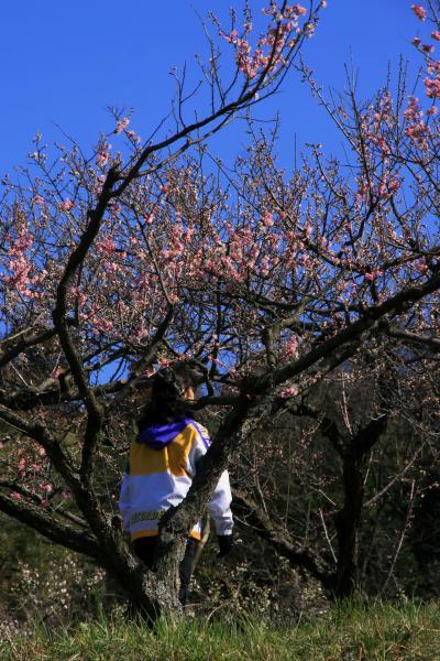 Solitary Journey [1163] 初春を感じさせてくれる花と言えば、やはり梅です♪<山の斜面に植樹されている三隅記念梅林>島根県浜田市