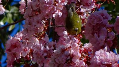 安楽寺前の伊豆土肥桜・土肥桜が見ごろで、多くのメジロが来ていました。
