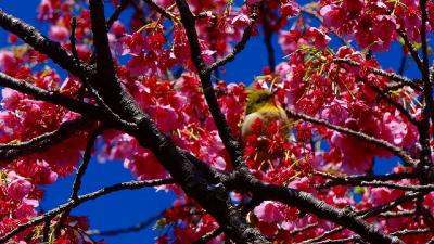 万福寺の伊豆土肥桜は落花盛んになっていました。