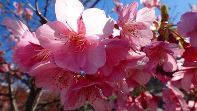 松原公園の伊豆土肥桜と土肥桜