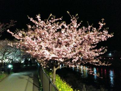 満開の夜の河津桜
