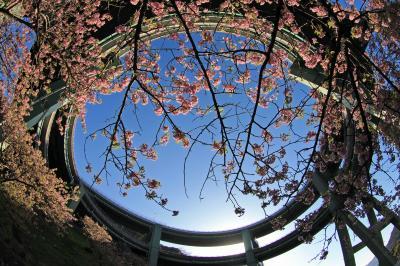 撮影旅行「河津町七滝ループ橋の河津桜」