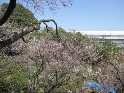 花と緑の振興センター(川口安行)の梅林☆2013/03/17