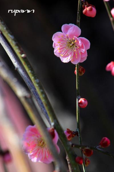 2013 鈴鹿の森庭園 鈴鹿山脈を背景に居並ぶ枝垂れ梅