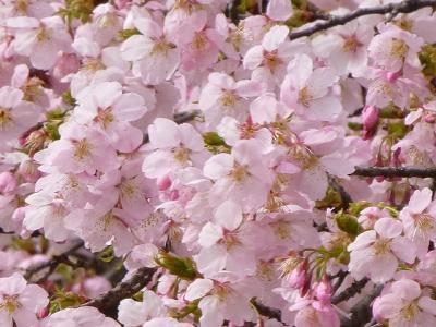 早咲きのさくら伊豆多賀赤を探しに清水公園へ