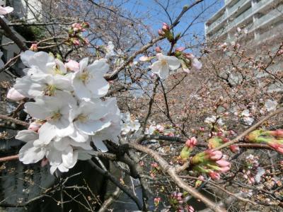 神田川の高戸橋付近のさくらは3分咲きです。