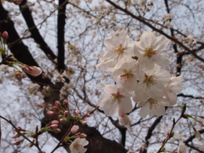 2013 桜・サクラ☆千鳥ヶ淵の桜速報☆