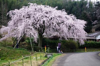 堀池の枝垂れ桜を堪能したら朝うどんです~