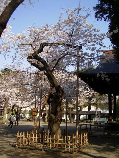 2013年 早咲きの桜をめぐる