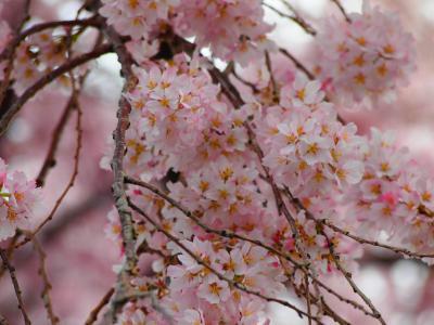 ちらほら咲きの桜をみながら...京都岡崎を散歩♪