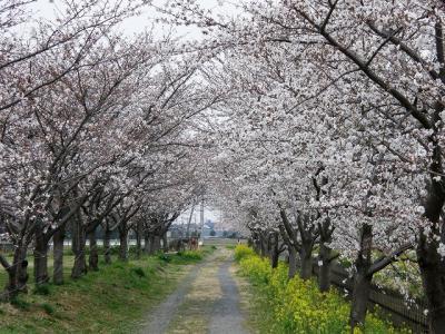 早朝ウォーキングでお花見・・・①加須市・久喜市の桜並木を訪ねる