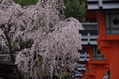 京都桜だより 長徳寺~本満寺~平野神社
