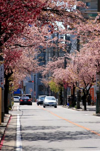 名古屋◆街ある記 東区高岳 春を告げる早咲きの桜並木