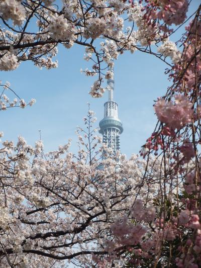 スカイツリー・隅田川・浅草寺 満開の桜