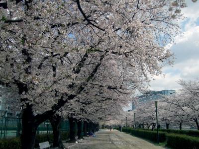 ・*。2013大阪・桜の開花状況。*・【大川沿い・毛馬桜之宮公園】の見頃はいつ?★ご近所桜日記で満開予想