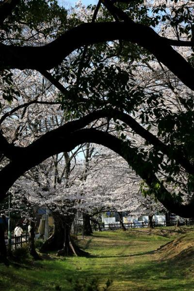 名古屋◆街ある記 鶴舞八幡山古墳・川名香積院のさくら 2011