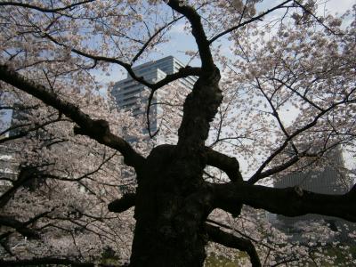 靖国神社辺りの桜は満開、急ぎ足での花見