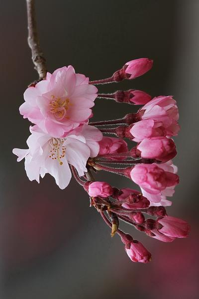 Solitary Journey [1179] 錦川土手に咲く'菜の花'満開~♪ 桜の花もほぼ満開でした。<錦帯橋に咲く春のお花たち>山口県岩国市
