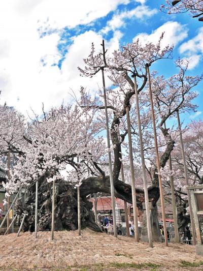 【日本三大桜】 満開の国指定天然記念物 『山高神代ザクラ』を訪れて 2013年3月