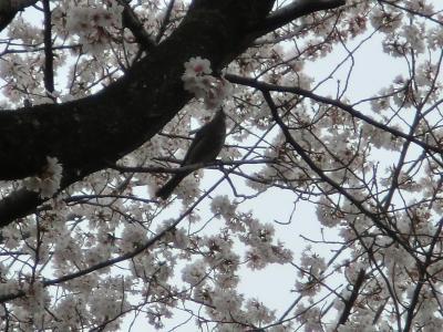 隣町で満開の桜を楽しむ