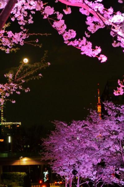 2013 六本木の夜桜