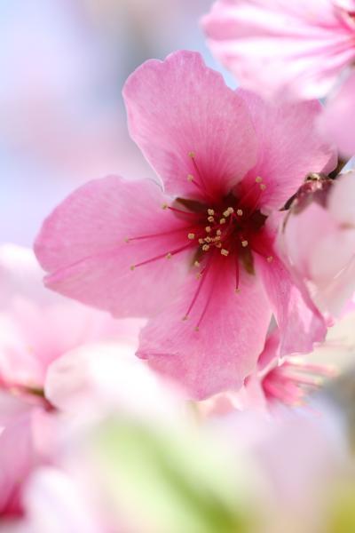 アーモンドの花2013 IN 神戸市建設局東水環境センター水辺の歩道うおざき