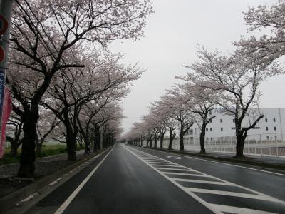 早朝ウォーキングでお花見・・・②久喜市清久さくら通りの桜並木を訪ねる