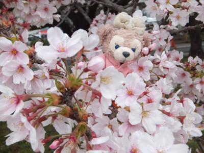 満開の桜並木@熊谷桜堤