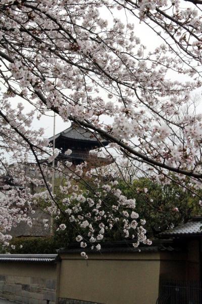 京都の桜、花曇・・・高台寺に咲く1本の枝垂桜は優雅でおしとやか♪