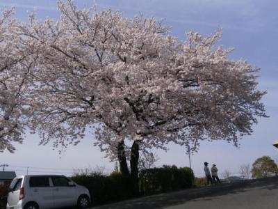 同じ日本なのに 遅れて満開を迎えた 伊丹の桜(ソメイヨシノ)