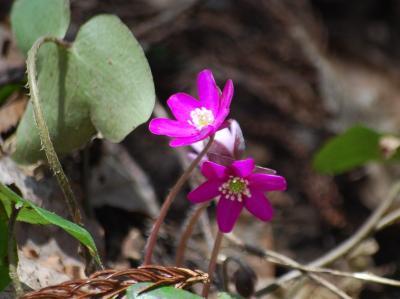 今年も雪国植物園を訪問する②雪割草とお目に掛った山野草