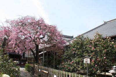 2013年京都の桜 見頃です2 平野神社、洛星ヴィアトール学園、地蔵院椿寺、成願寺、宥清寺、立本寺、上品蓮台寺、雨宝院