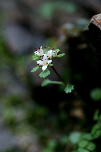 車で三重 ★鈴鹿小岐須渓谷に咲く春花 シロバナネコノメソウ・サバノオ