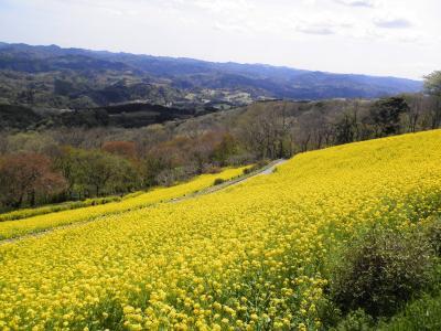 一面に広がる菜の花はマザー牧場の「春の風物詩」